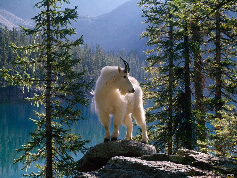 Mountain goat, Weminuche Wilderness, San Juan Mountains, Colorado