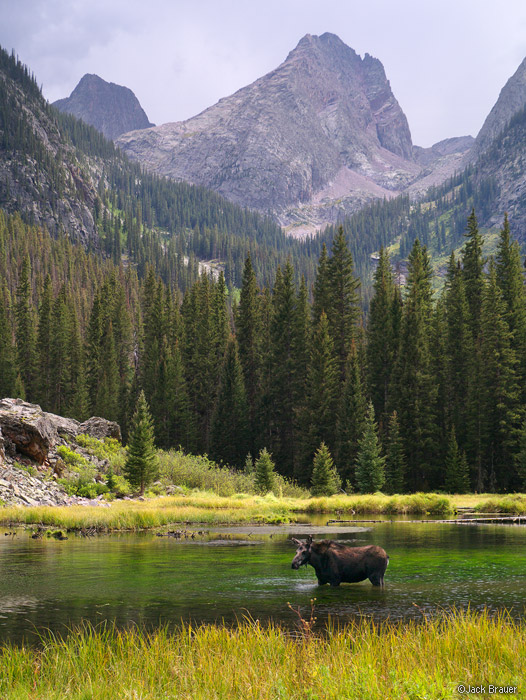 Moose, Elk Creek, Beaver Ponds, Arrow Peak, Grenadier Range, San Juan Mountains, Colorado