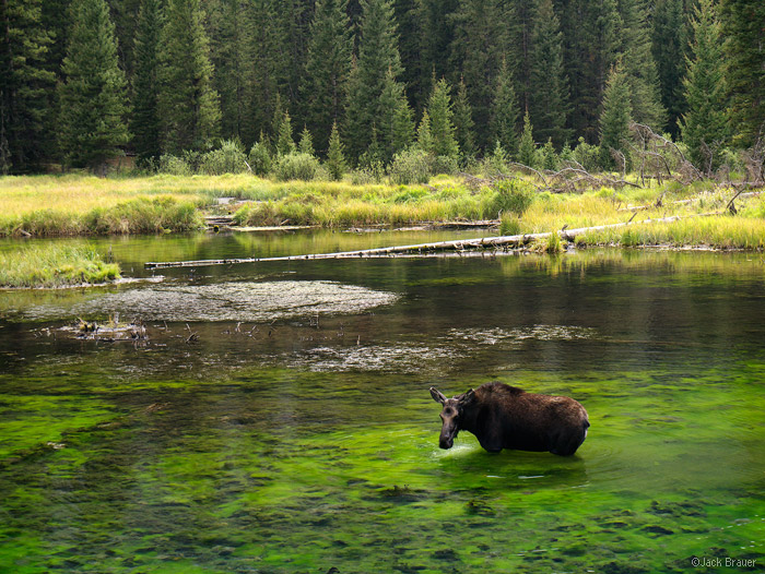 Moose, Elk Creek, Weminuche Wilderness, San Juan Mountains, Colorado