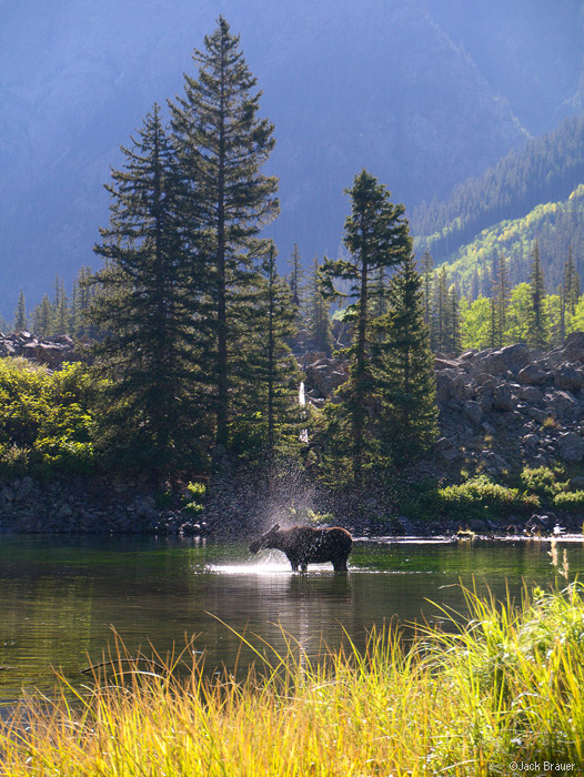 moose, San Juan Mountains, Colorado