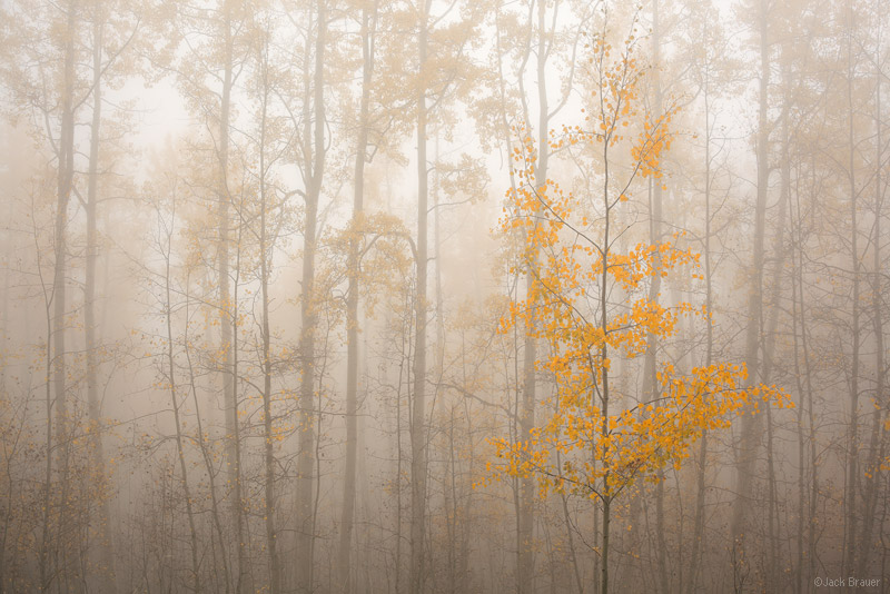 Aspens, fog, San Juan Mountains, Colorado, september