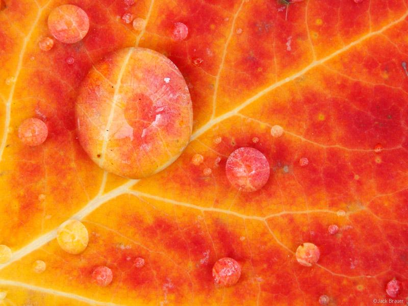 aspen leaf, red, raindrops