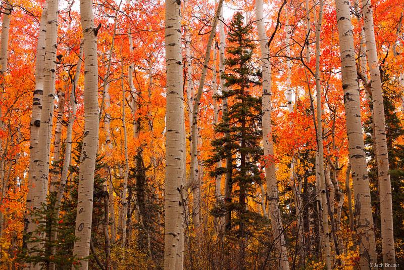 Aspens, San Juan Mountains, Colorado, red, september