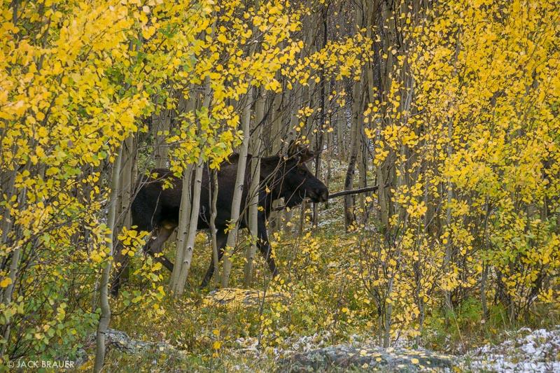 moose,Colorado,San Juan Mountains