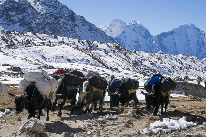 Himalaya,Khumbu,Nepal,yak