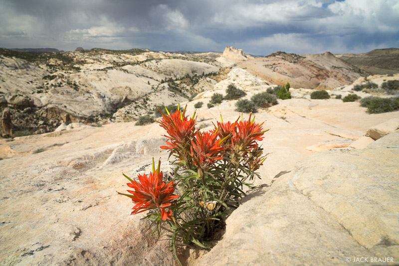 Utah,Yellow Rock, Cockscomb, paintbrush, wildflowers
