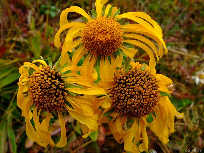 yellow flowers, Colorado, photo