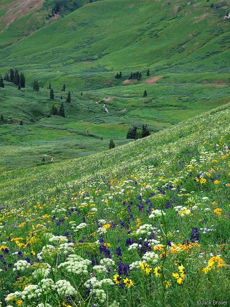 Wildflowers, Elk Mountains, Colorado, Maroon Bells-Snowmass Wilderness, photo