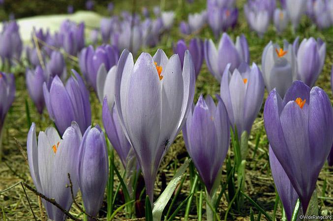 alpine flowers, Montenegro, photo