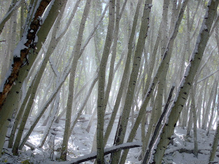 aspen, snow, San Juans, Colorado, photo