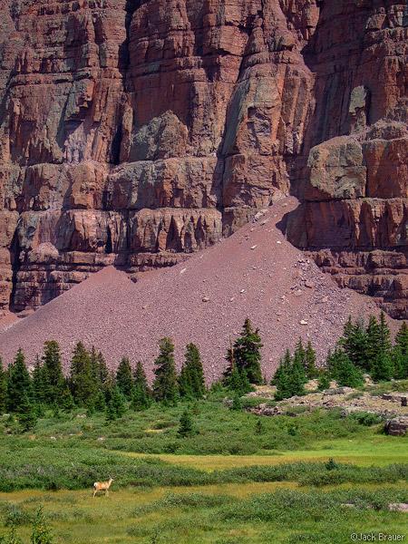 Deer, meadow, Red Castle Mountain, Uintas, Utah, photo