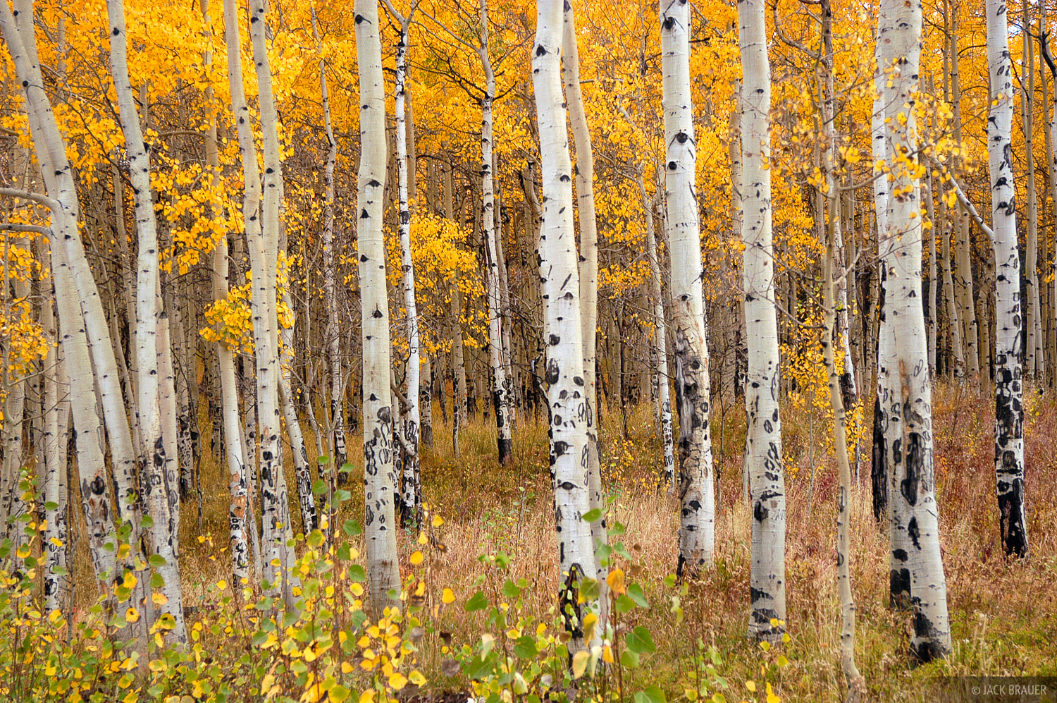 autumn aspens, Holy Cross Wilderness, Vail, Colorado, photo