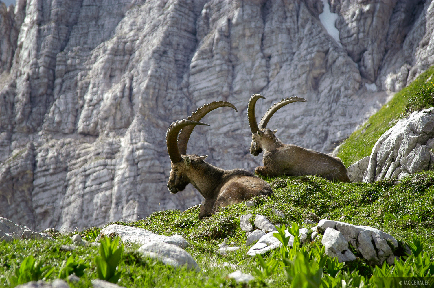 ibex, Julian Alps, Slovenia, photo
