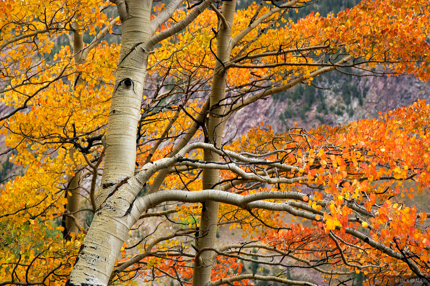 aspens, Elk Mountains, Colorado, photo