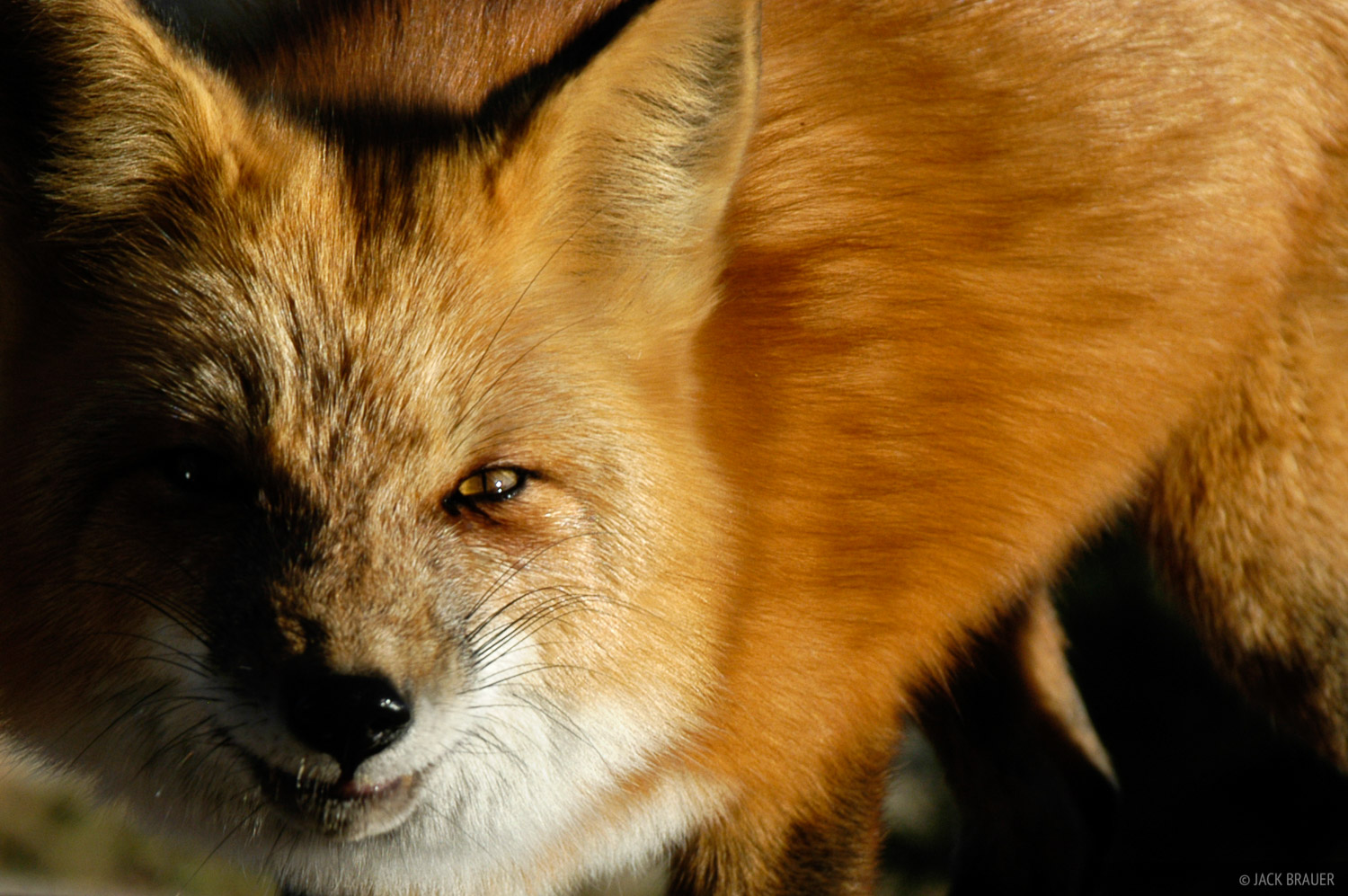red fox, Front Range, Colorado, photo