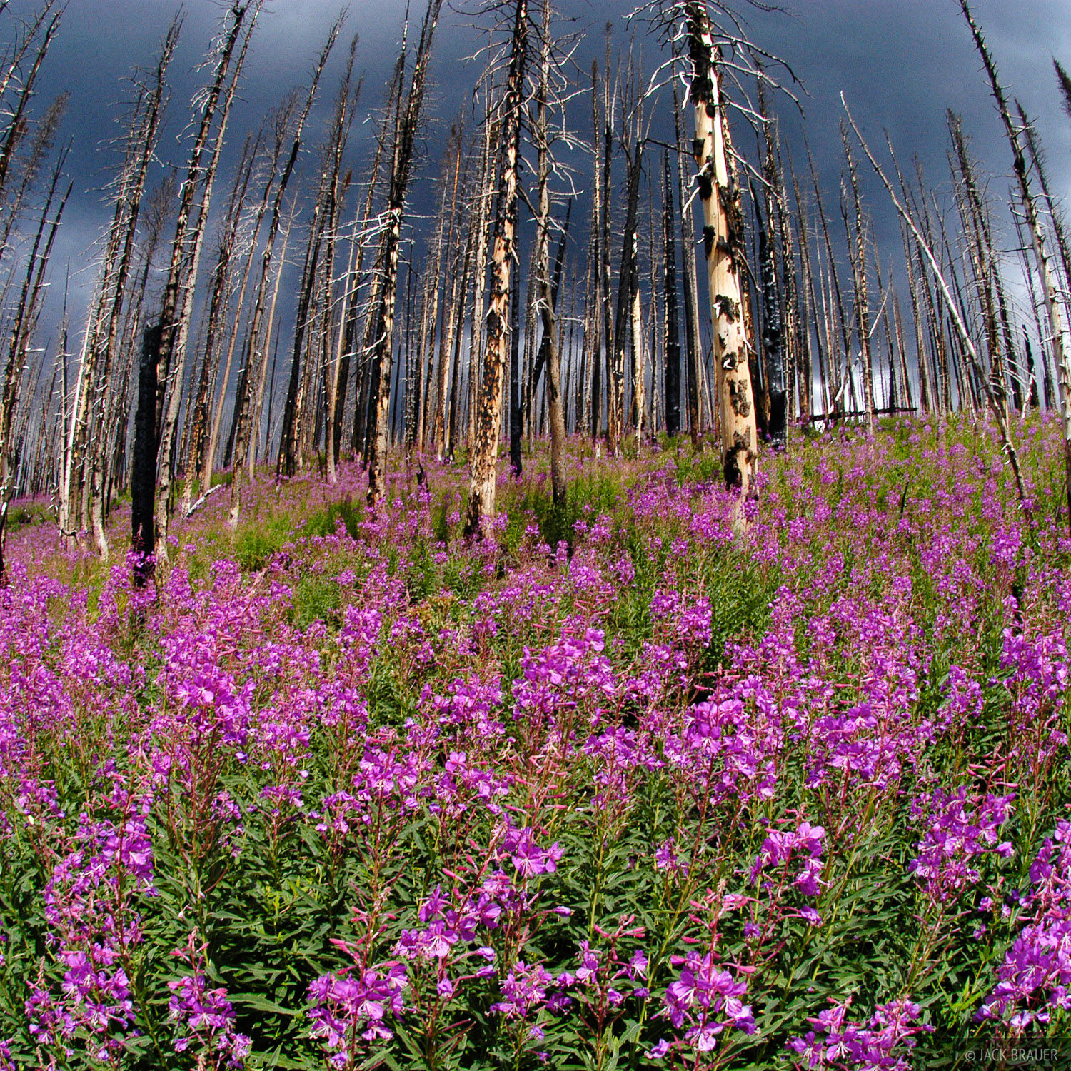 Trappers Lake, fireweed, Flattops, Colorado, photo