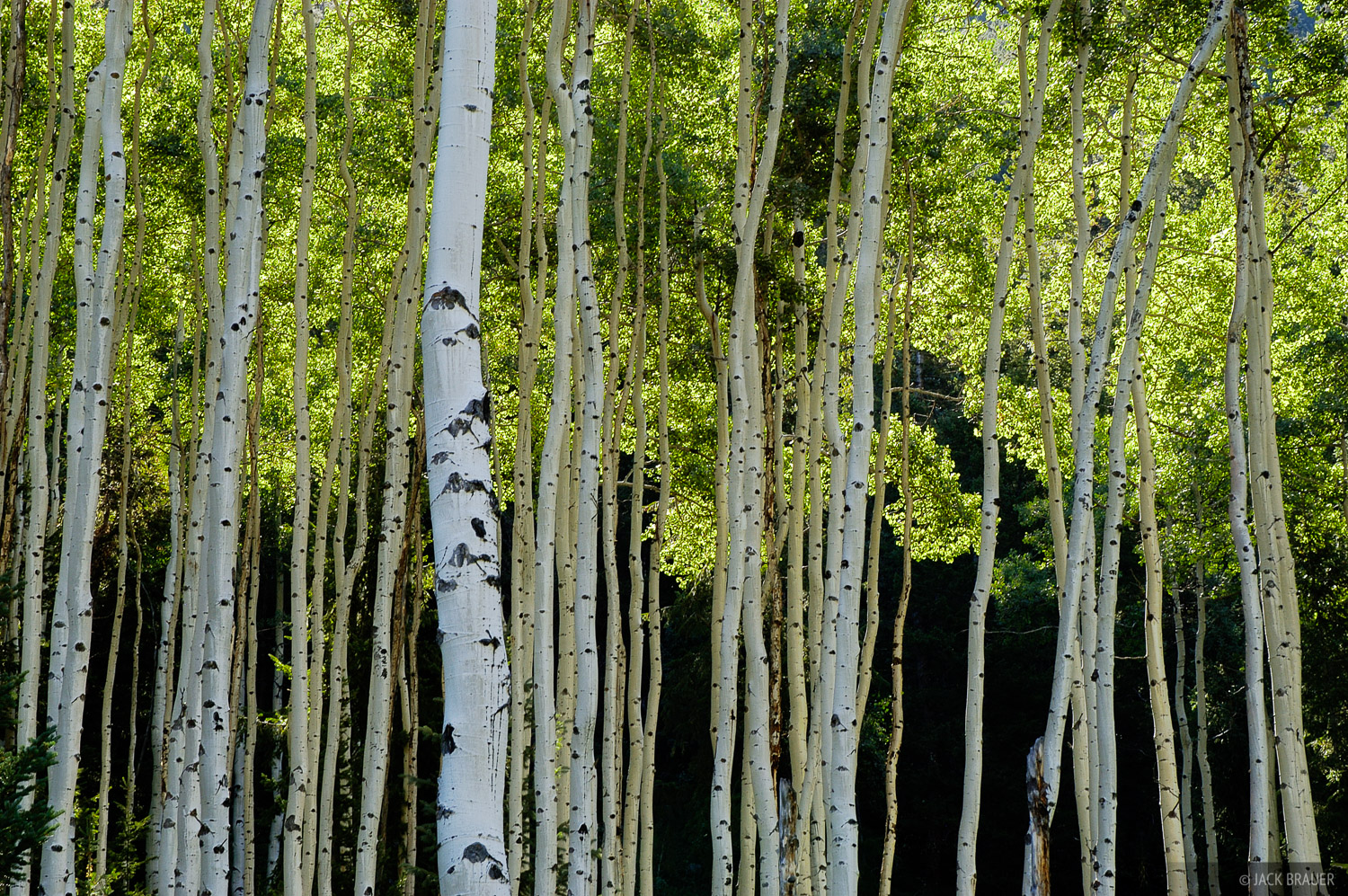 Aspens, Holy Cross Wilderness, Colorado, photo