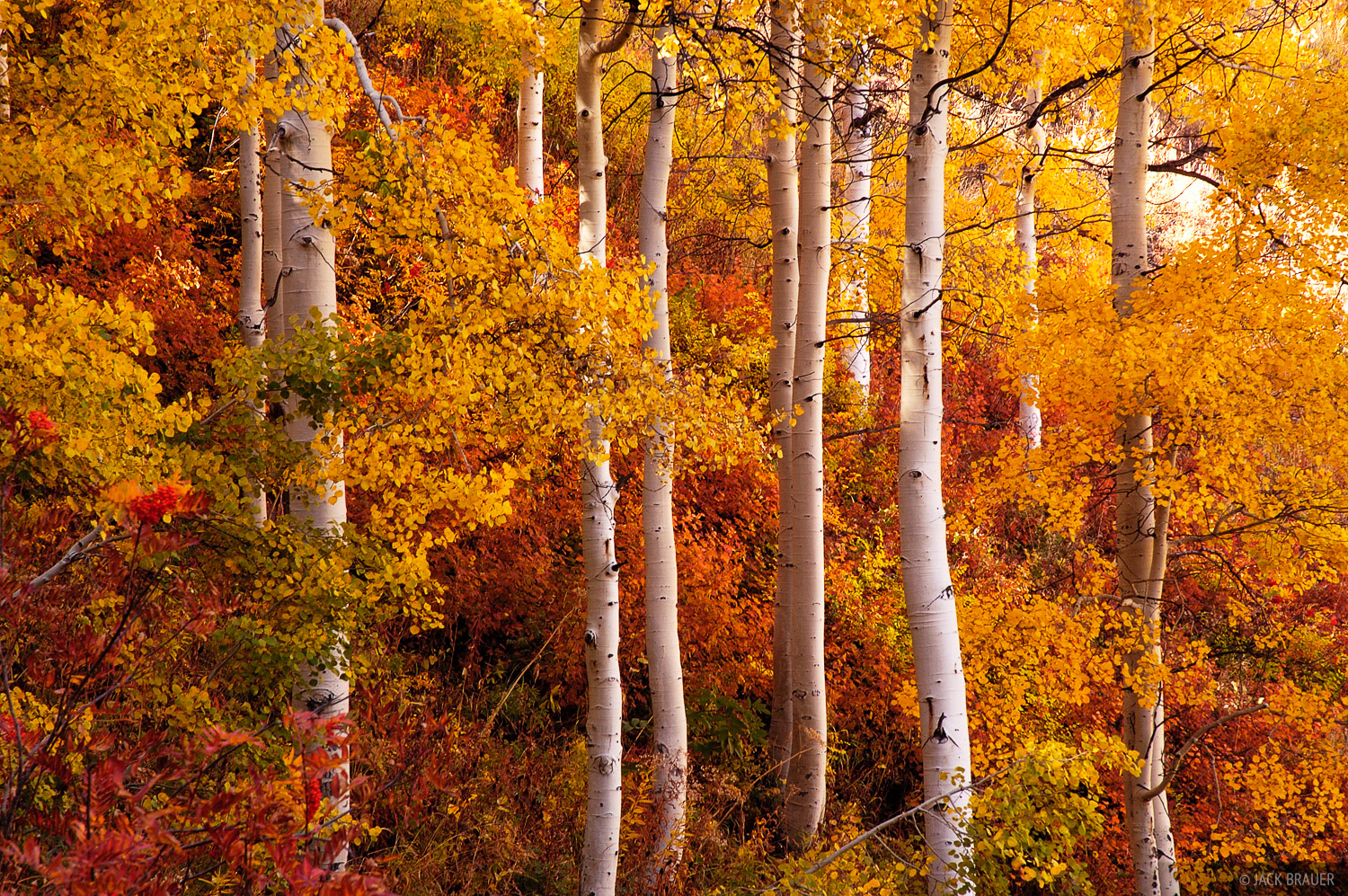 Aspens, Butler Creek, Little Cottonwood Canyon, Wasatch Range, Utah, photo
