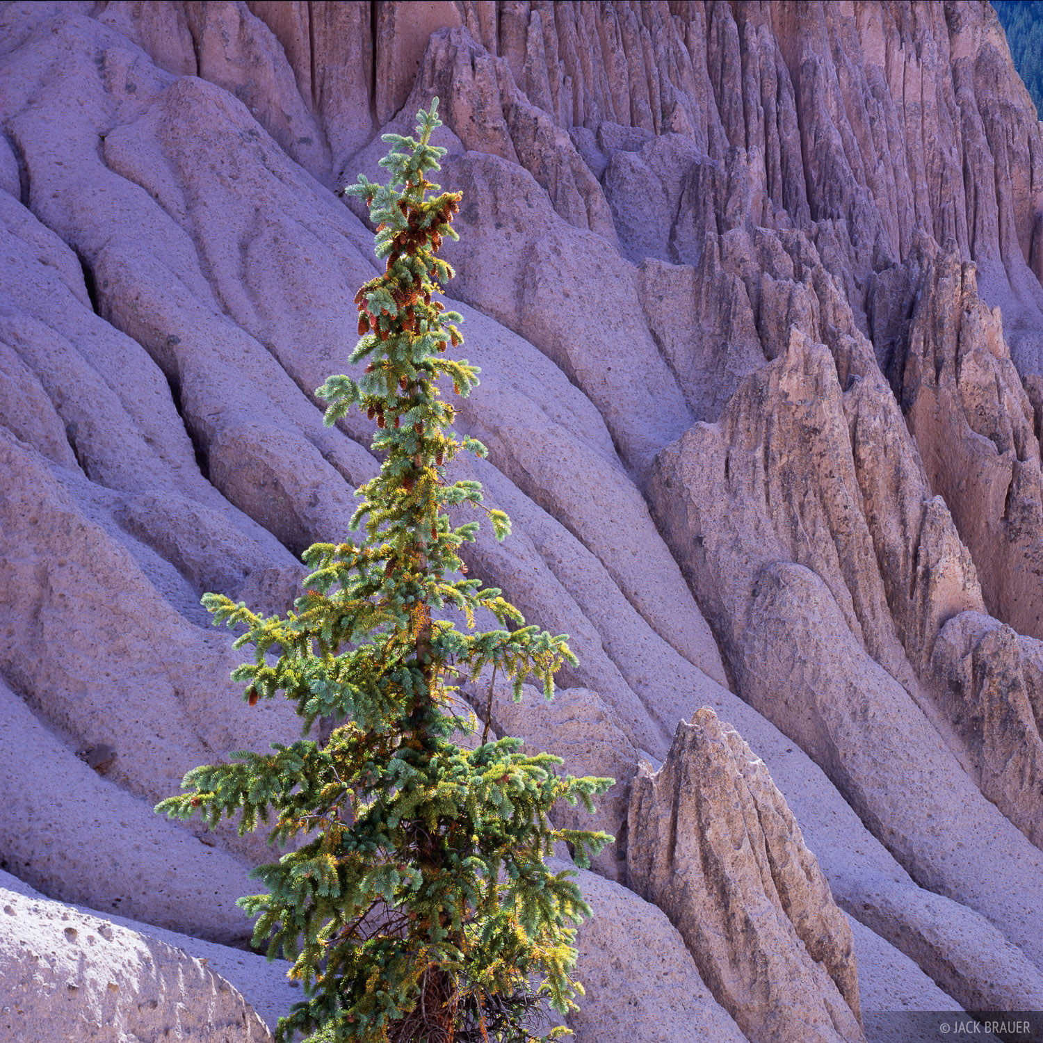 A lone pine tree stands amongst the bizarre formations of the Wheeler Geologic Area near Creede - September.