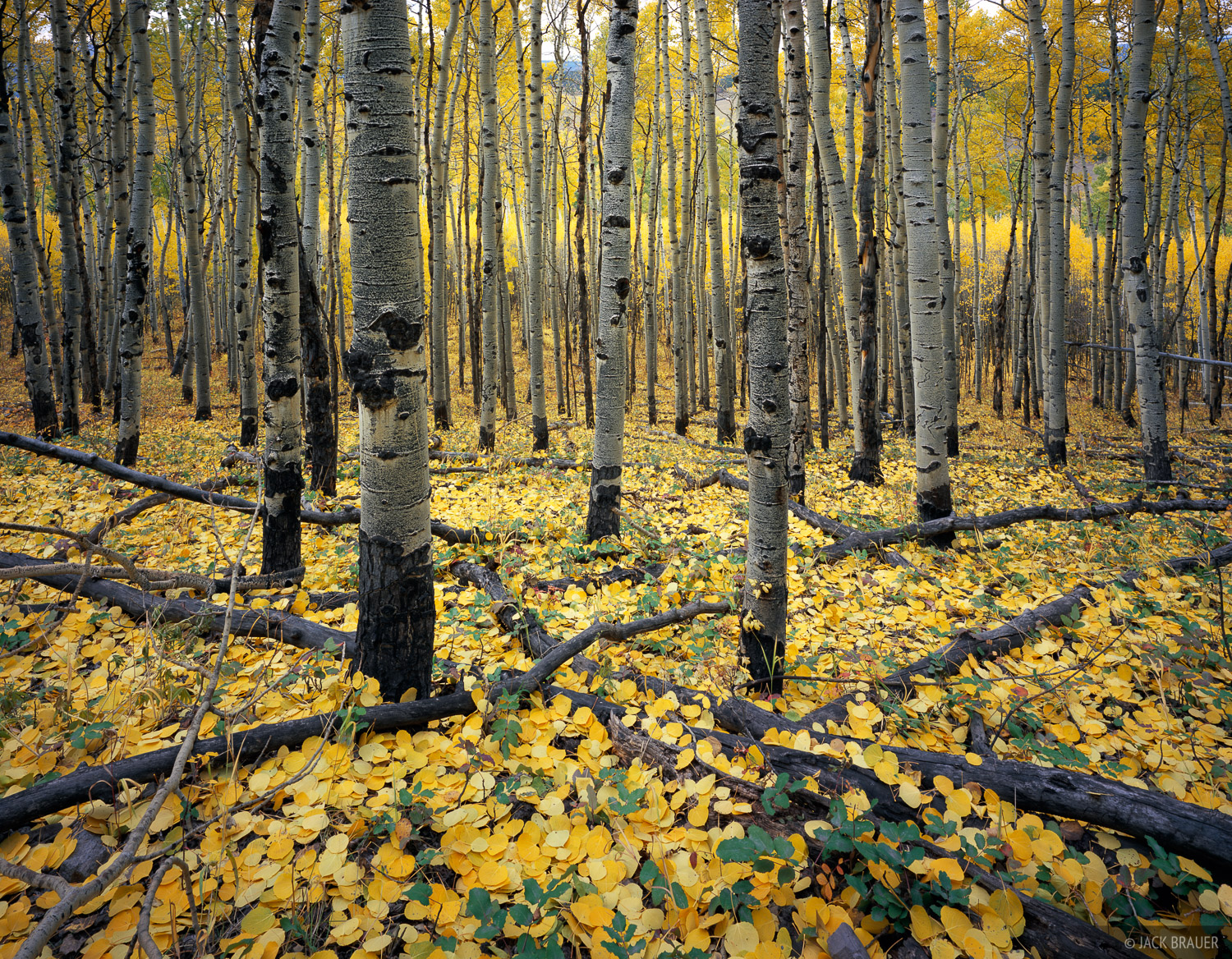 autumn aspen colors - October