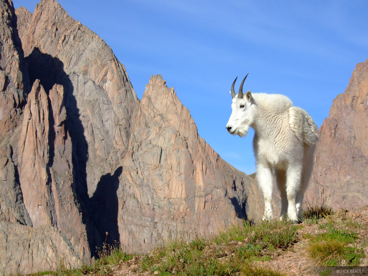 Mountain goat, Needle Mountains, Weminuche Wilderness, Colorado, photo