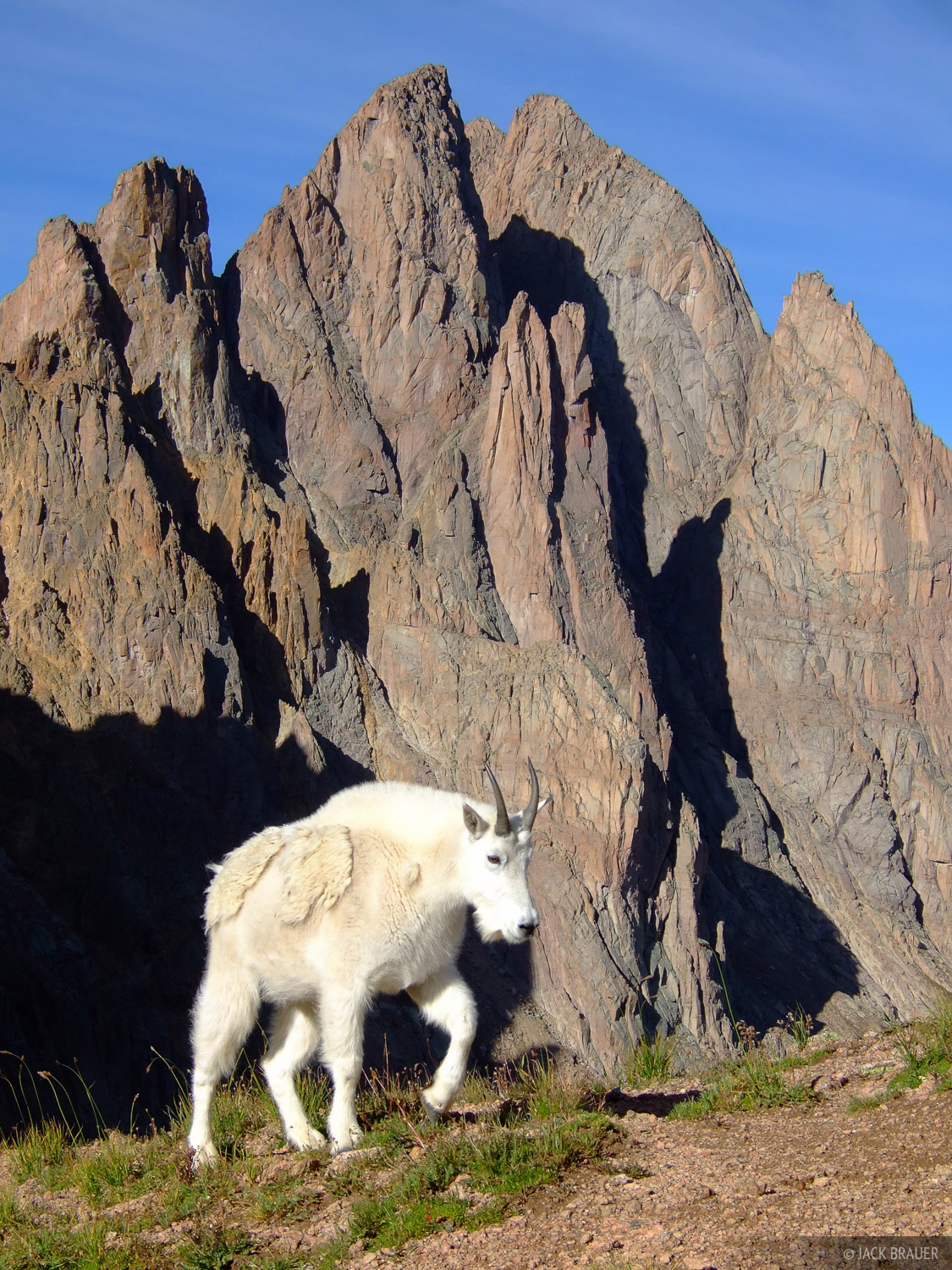 Mountain goat, Turret Needles, Weminuche Wilderness, Colorado, photo