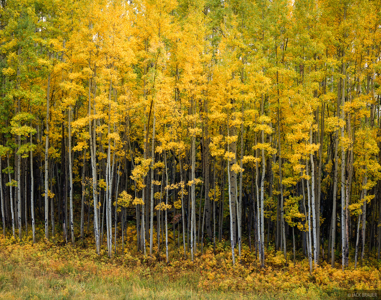 aspens, Wilson Mesa Trail, Telluride, Colorado, photo