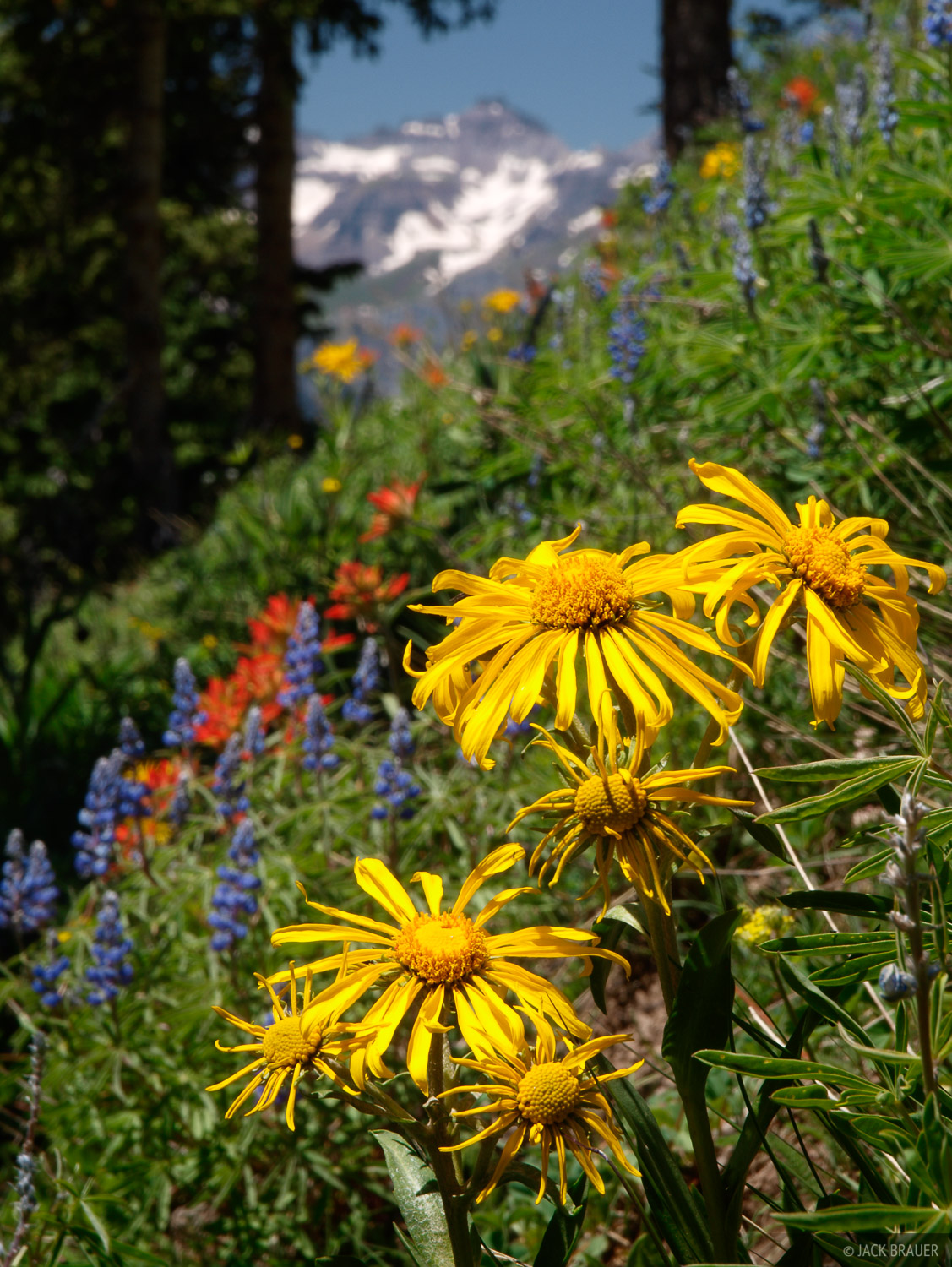 Wildflowers, Teakettle Mountain, San Juan Mountains, Colorado, photo