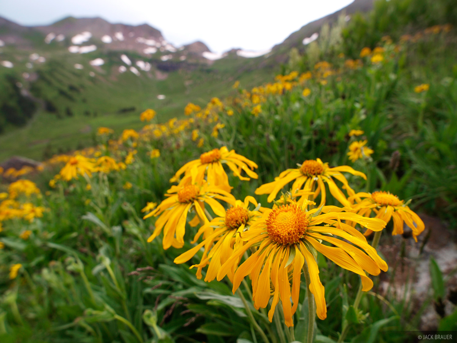 wildflowers, Middle Fork Conejos River, South San Juans, Colorado, photo