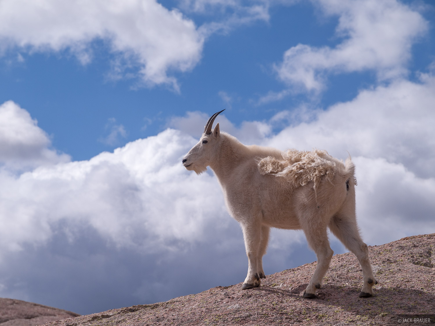 Mountain Goat In The Clouds San Juan Mountains Colorado