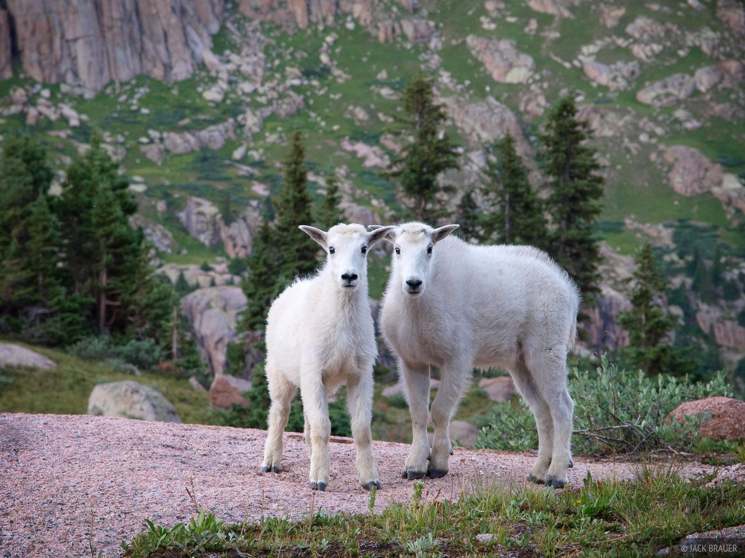 mountain goats, Weminuche Wilderness, Colorado, photo