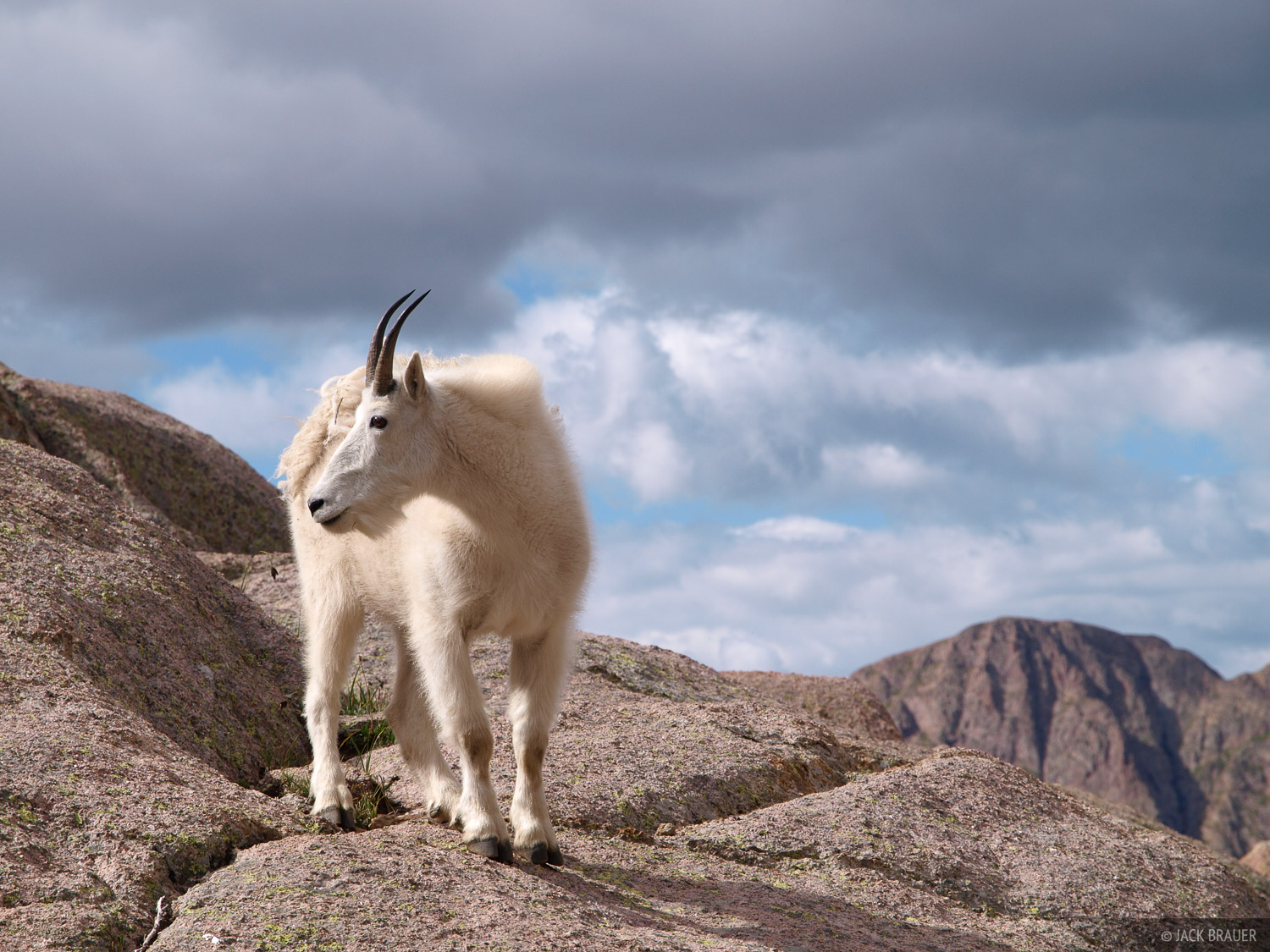 Mountain Goat, Chicago Basin, Weminuche Wilderness, Colorado, photo