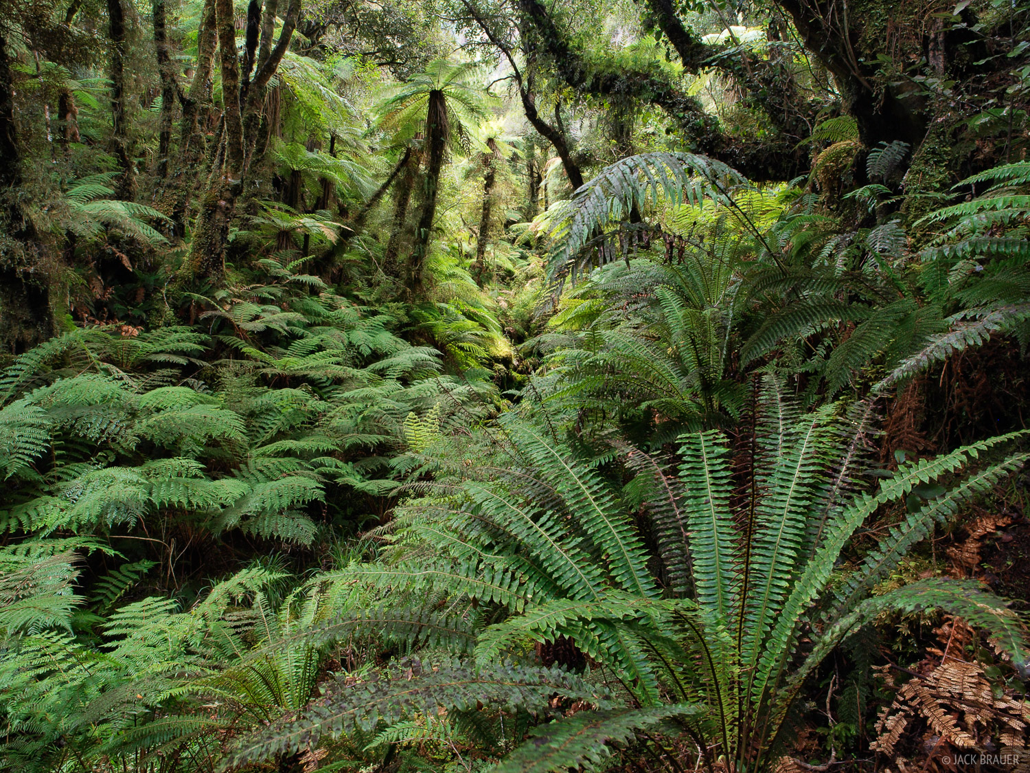 Copeland Track, rainforest, ferns, New Zealand, photo