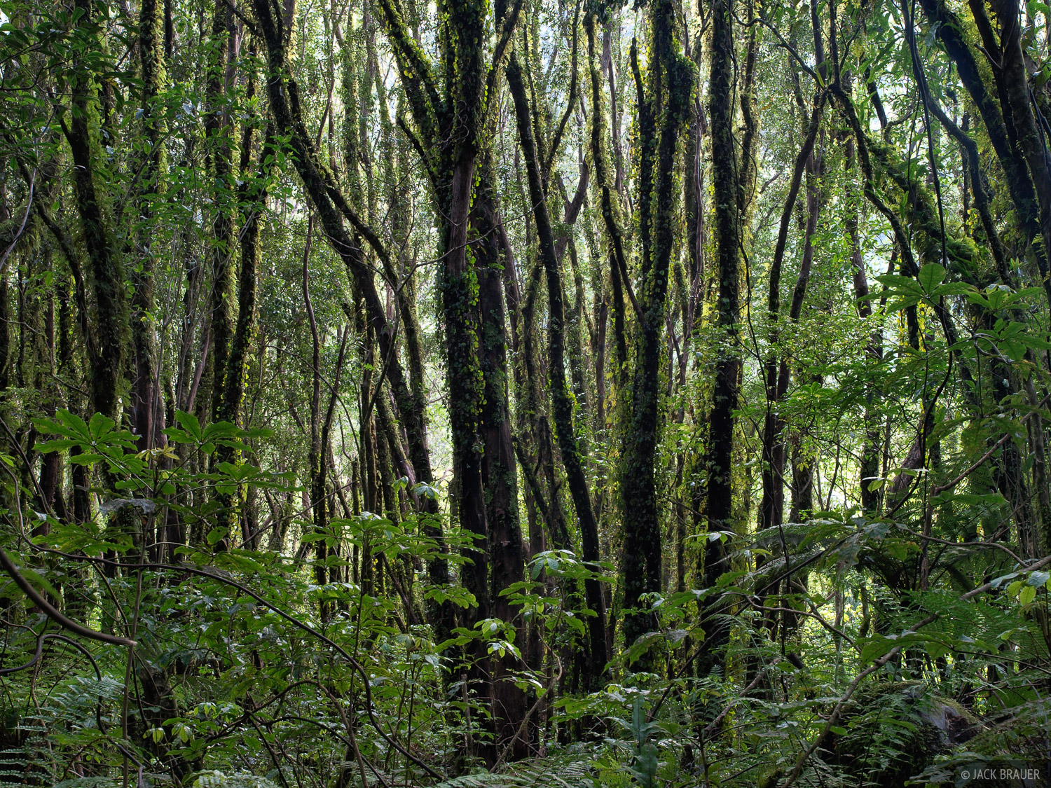 Rainforest, West Coast, New Zealand, photo