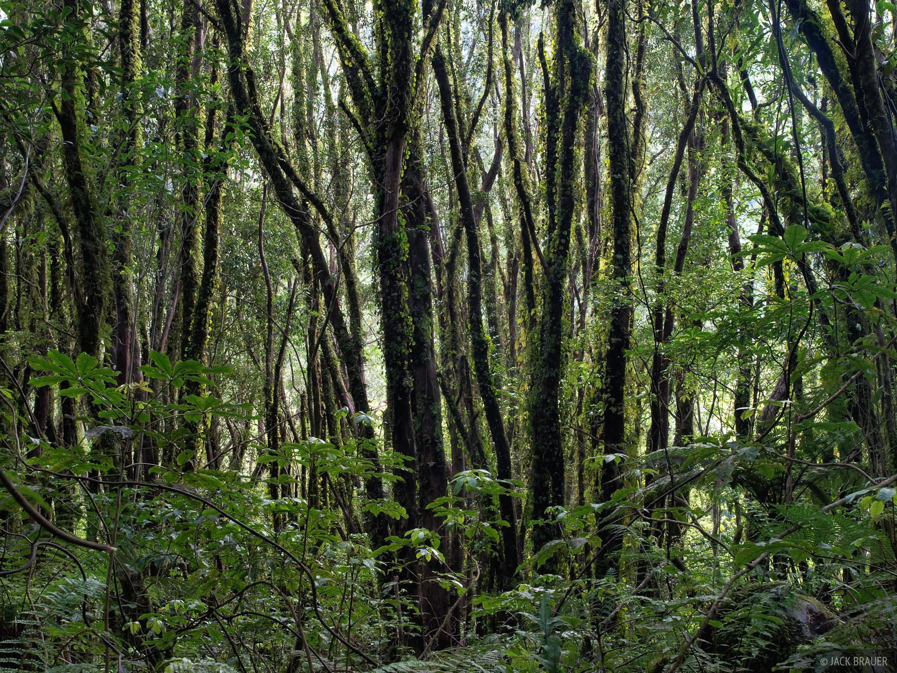 Rainforest, West Coast, New Zealand, photo