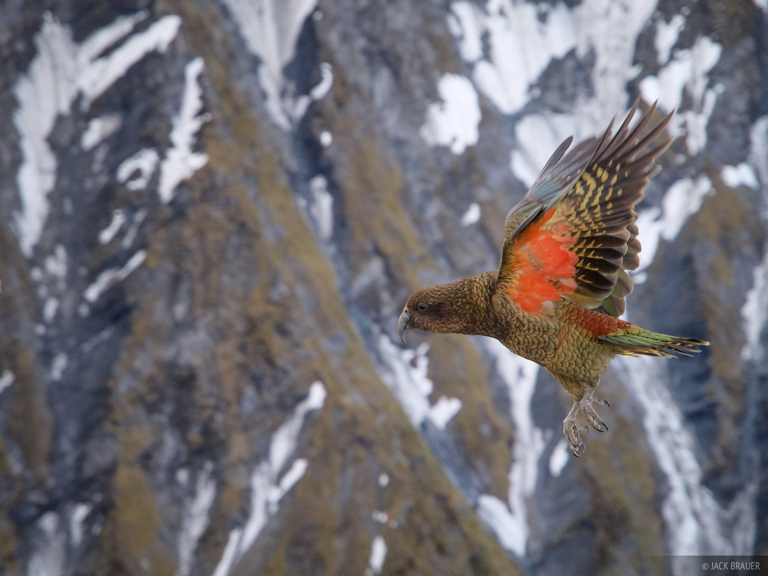 New Zealand, kea, photo