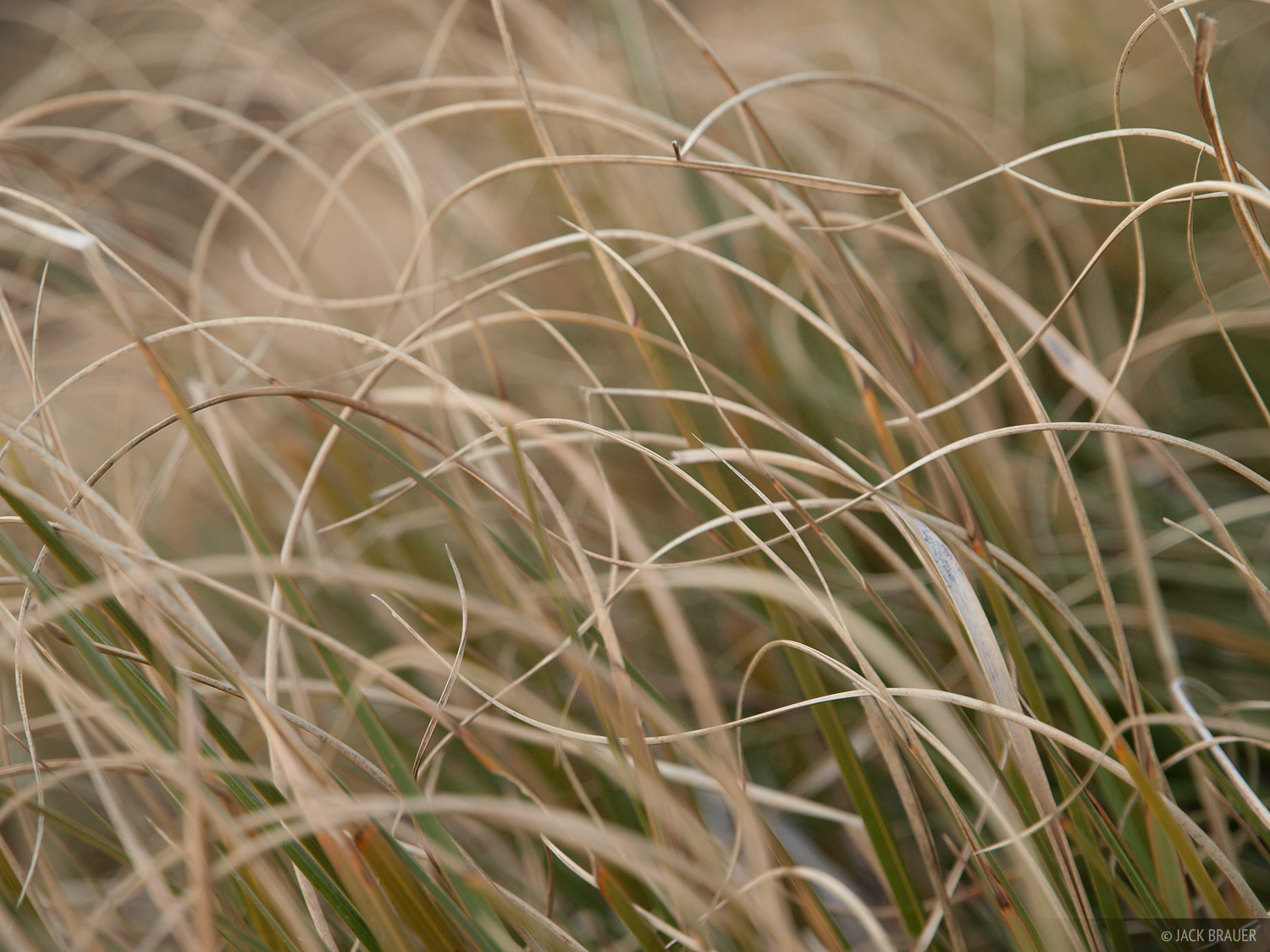 Tussock, grass, New Zealand, photo