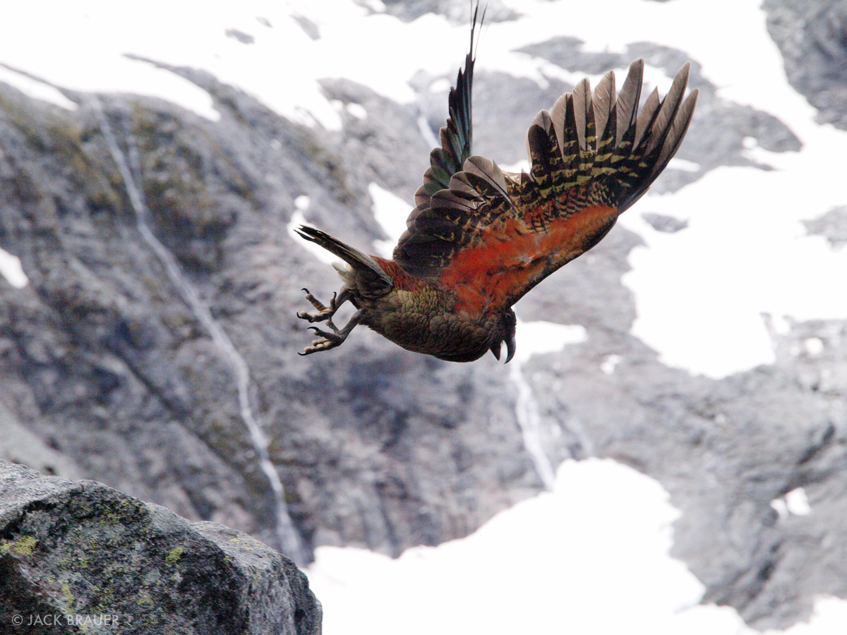 Kea, Fiordland, New Zealand, photo