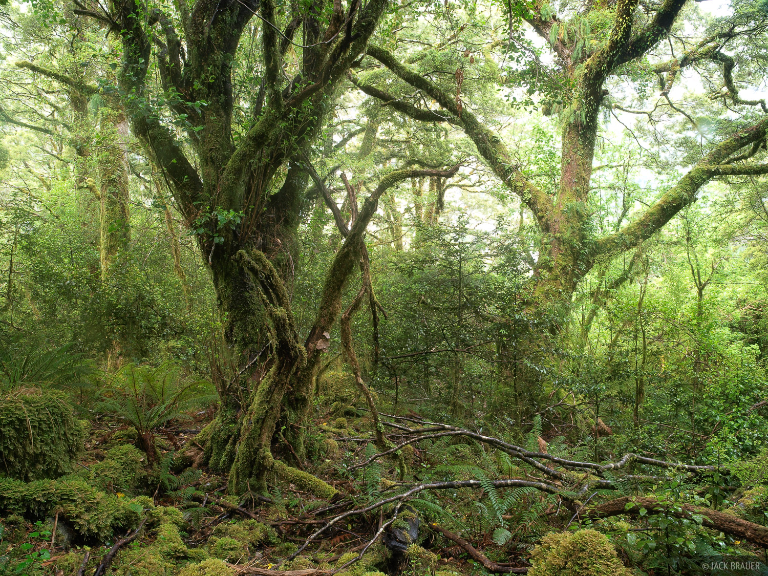 Rainforest, Milford Track, Fiordland, New Zealand, photo