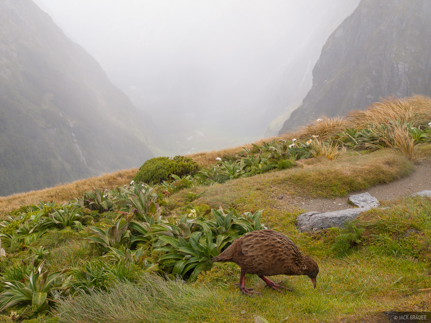 A weka bird on Mackinnon Pass along the Milford Track. In New Zealand there were no endemic predators so most of the native birds...