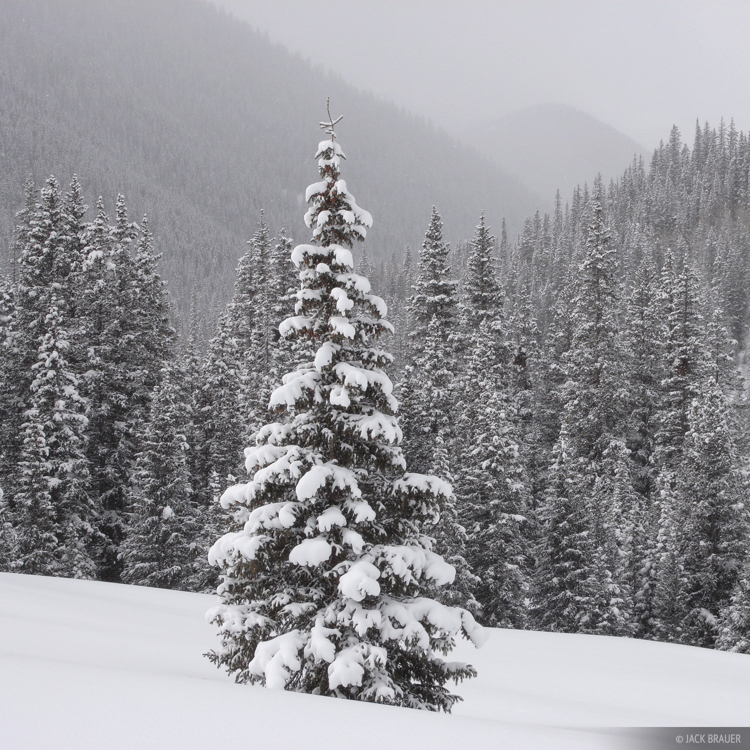 snowy, tree, San Juans, Colorado, photo