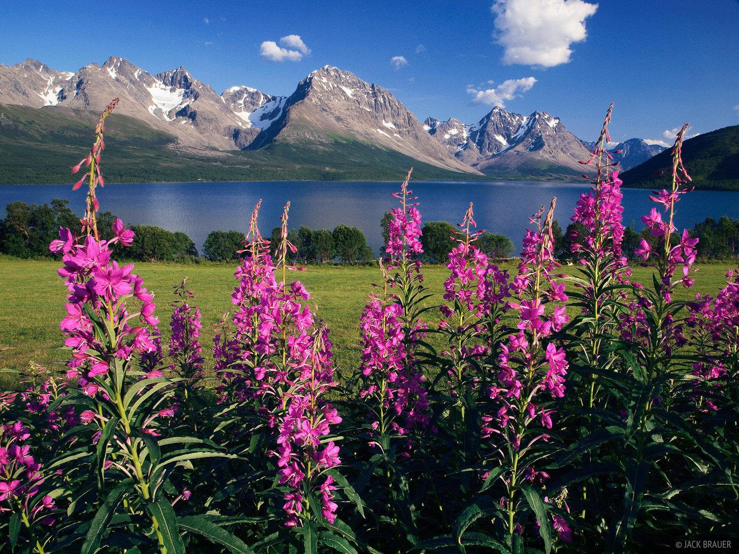Brilliant pink fireweed and the Lyngen Alps, with Jægervatnet lake in between.