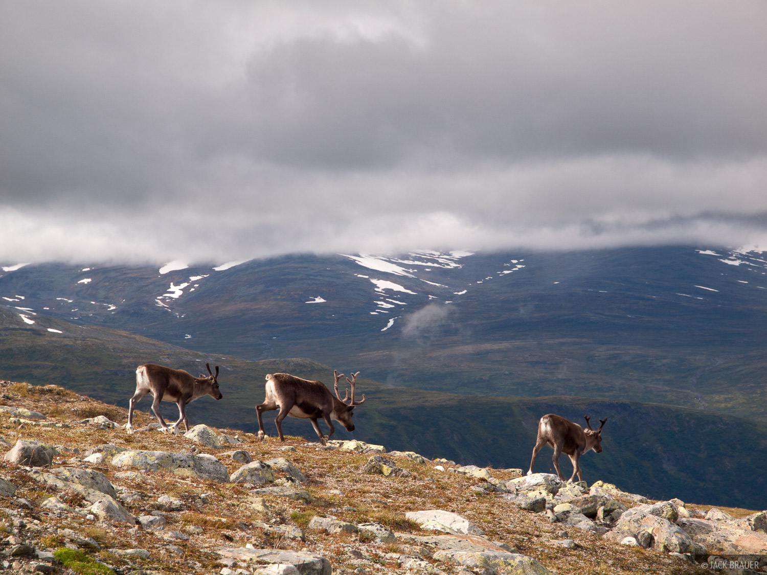 reindeer,Jotunheimen,Norway, photo