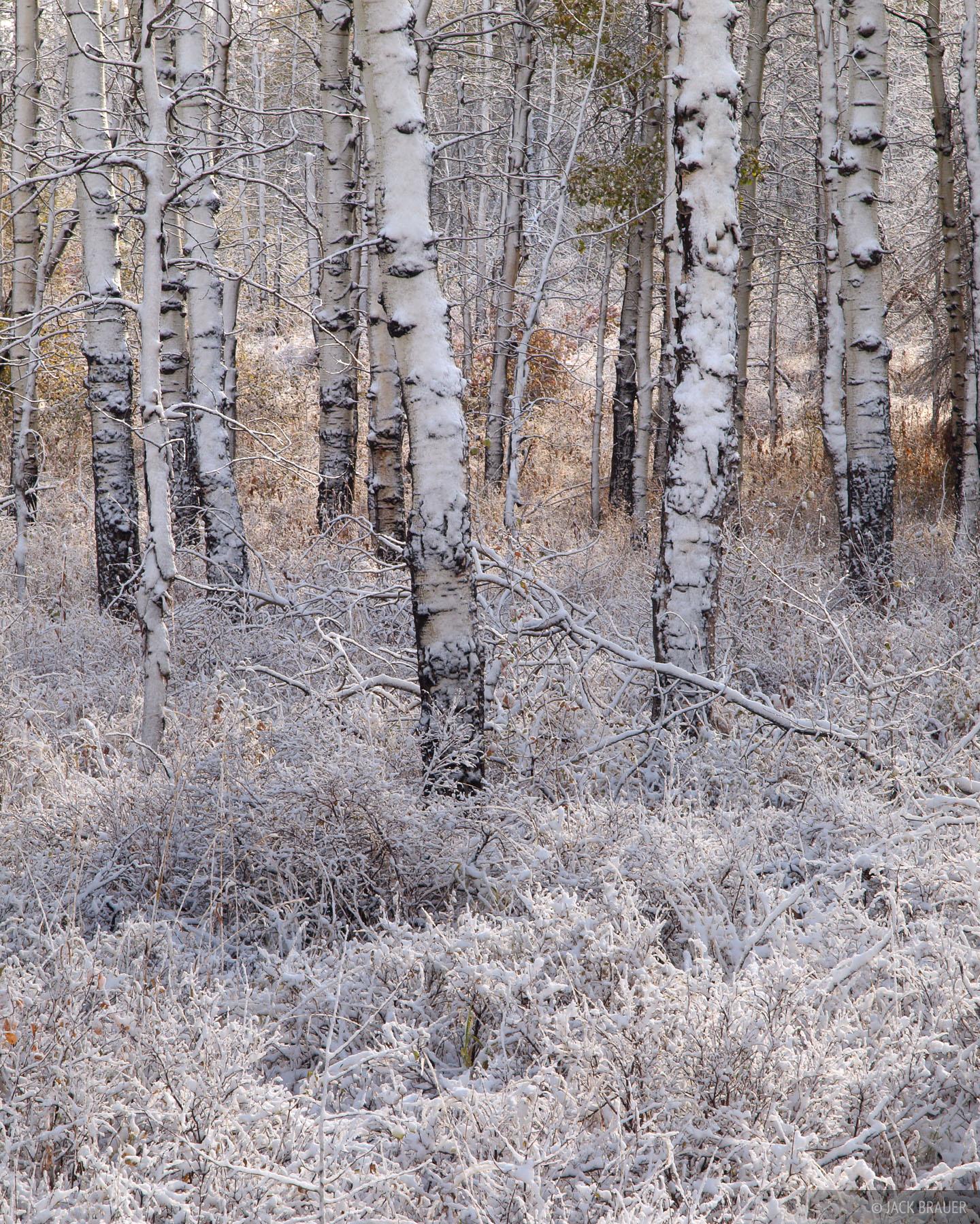 aspens, Wasatch Range, Utah, snow, october, photo