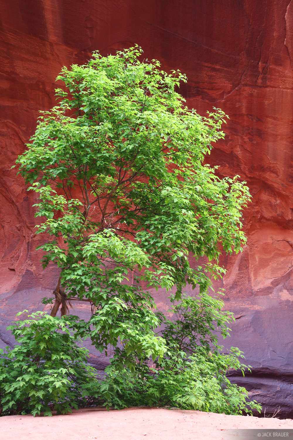 Escalante, Utah, tree, springtime, Glen Canyon National Recreation Area, photo