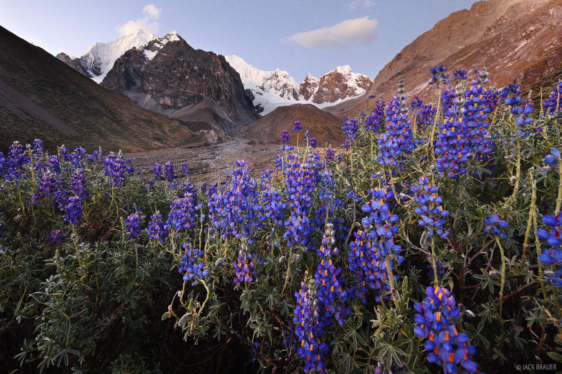Cordillera Huayhuash, Peru, wildflowers, lupines, Sarapo, Rio Calinca, photo