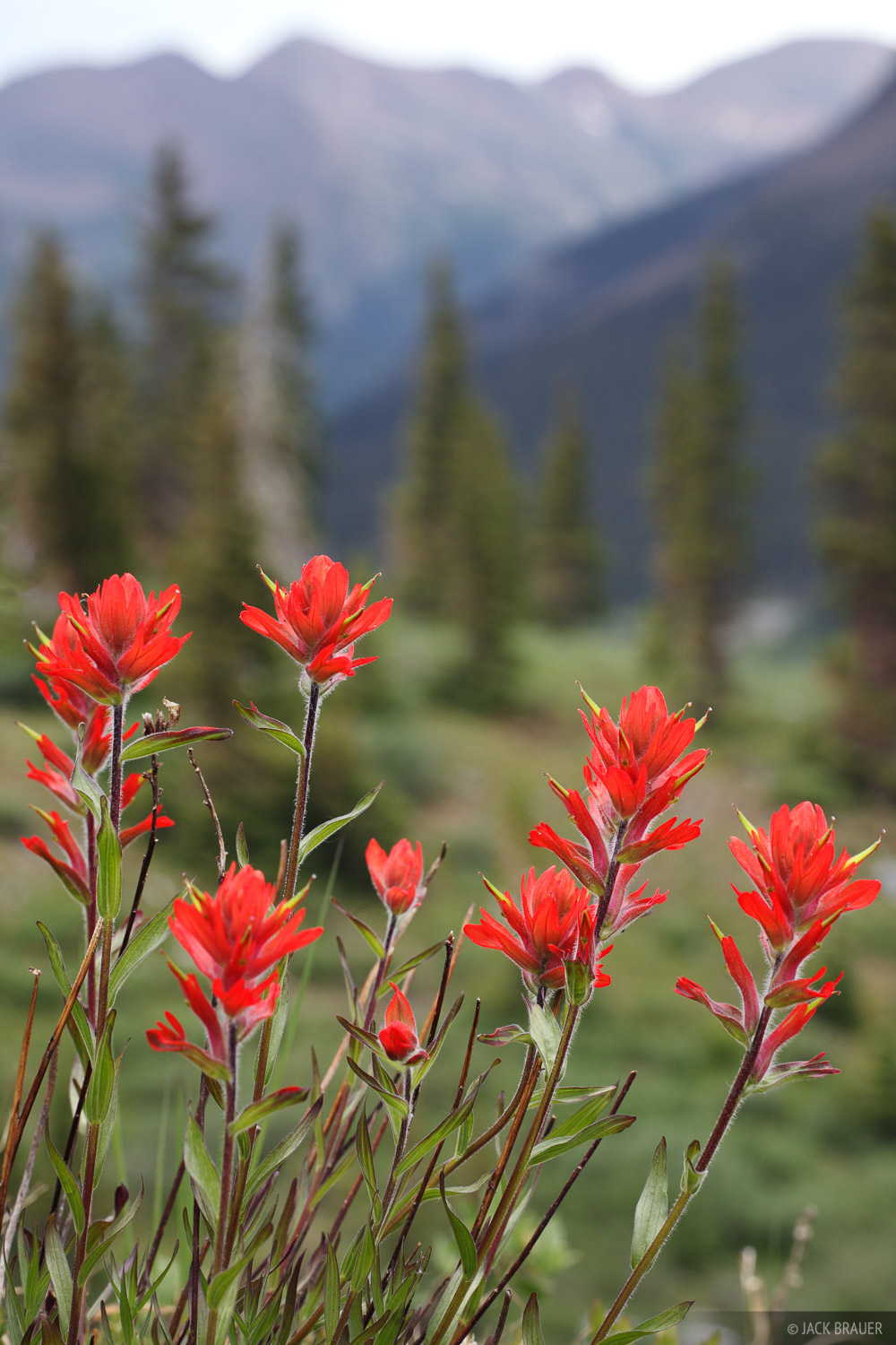 wildflowers, paintbrush, Weminuche, San Juan Mountains, Colorado, photo