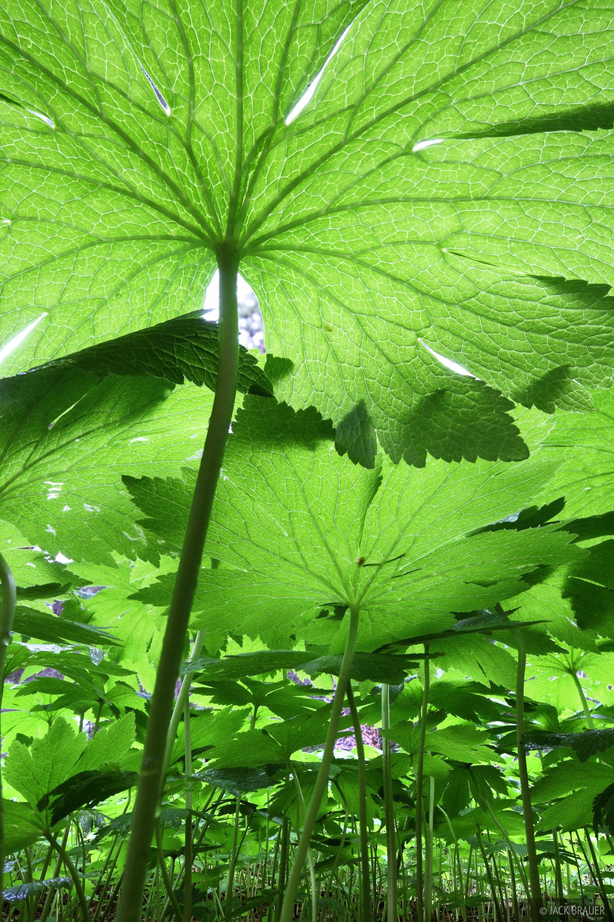 green canopy, weminuche wilderness, colorado, photo