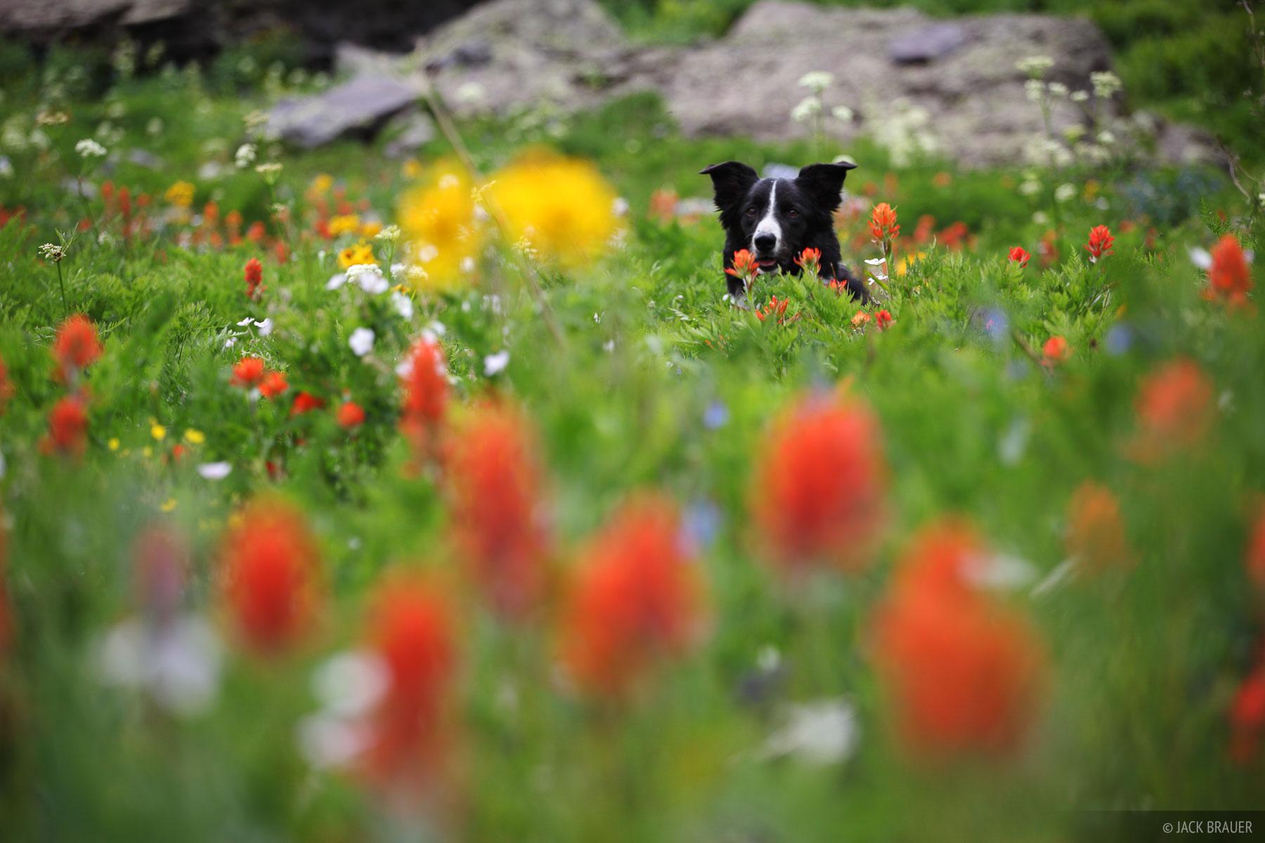 dog, wildflowers, San Juan Mountains, Colorado, photo