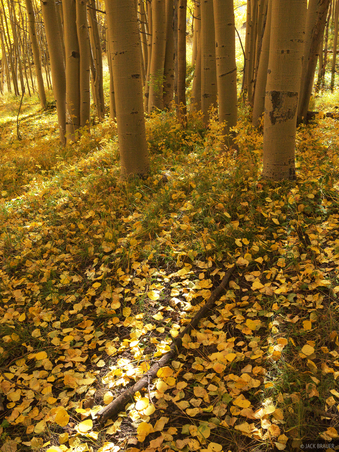 aspen, leaves, San Juan Mountains, Colorado, photo